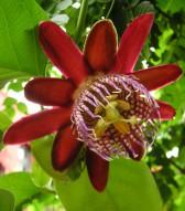 Mučenky - nevšední exotické krásky