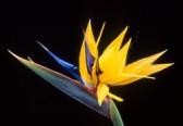 Strelície - rostlina připomínající ptáka