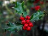 Cesmína ozdobou nejen o Vánocích