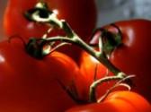 Co může potkat rajčata - nástrahy při jejich pěstování