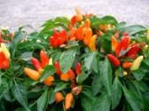 Co může potkat papriky - vyhrajte souboj s chorobami a škůdci