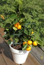Pečujeme o citrusy