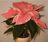 Vánoční květiny ozdobí váš domov