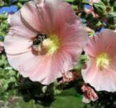 Topolovka - rozmanitá vysoká kráska