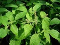 Bazalka - voňavá bylinka a účinný lék