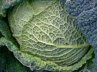 Kapusta - překvapivě odolná zelenina