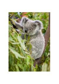 Aromatický eukalyptus ze semen