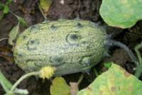 Kiwano - šťavnatý předchůdce melounu