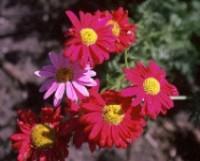 Kvetoucí kopretina rozzáří zahradu