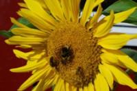 Zářivě žluté i červené slunečnice
