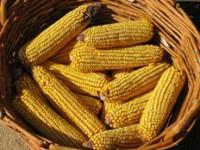 Vařená kukuřice z vlastní zahrady