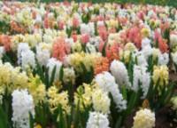 Jarní cibuloviny - 10 tipů k pěstování