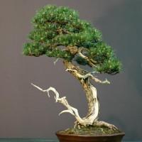 Borovice jako elegantní bonsai