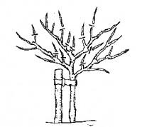 Jak na řez ovocných stromů