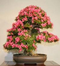 Azalka - alpská růže