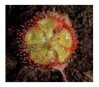 Masožravé rostliny - rosnatky