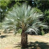 Palma Braheova  semínka rostliny 2 ks