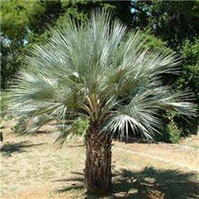 https://www.semena-rostliny.cz/10114-thickbox/rostliny-palma-braheova-semena-brahea-armata.jpg