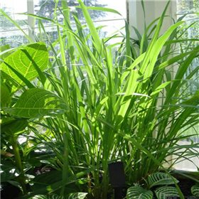 https://www.semena-rostliny.cz/10189-thickbox/rostlina-citronova-trava-semena.jpg