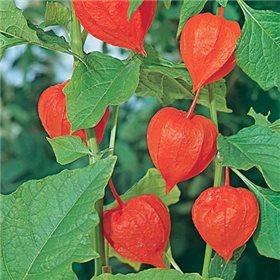 https://www.semena-rostliny.cz/10490-thickbox/mochyne-semena.jpg