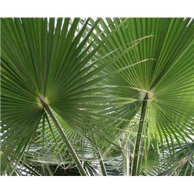 https://www.semena-rostliny.cz/10493-thickbox/washingtonie-semena-palmy.jpg