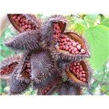 Oreálník barvířský (rostlina: Bixa orellana) - 5 semen