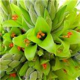 Puya čilská (rostlina: Puya chilensis) - 7 semen