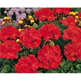 https://www.semena-rostliny.cz/10737-thickbox/pelargonium-zonale-cervene.jpg