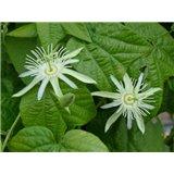Mučenka vanilková (Passiflora capsularis) - 5 semen