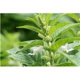 Sezam (Sesamum indicum) - 8 semen