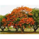Ohňový strom (Delonix regia) - 5 semen