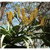 Aloe rupestris (Aloe rupestris) - 6 semen