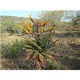 Aloe spectabilis (Aloe spectabilis) - 6 semen