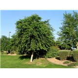 Dalbergia šišam (Dalbergia sissoo) - 9 semen