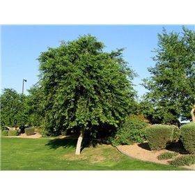 https://www.semena-rostliny.cz/25500-thickbox/dalbergia-sissoo.jpg