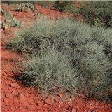 Chvojník nevadský (Ephedra nevadensis) - 8 semen
