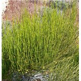Mormonský čaj (chvojník) (Ephedra viridis) - 8 semen