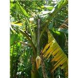 Banánovník obecný (Musa balbisiana) - 5 semen