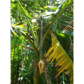 https://www.semena-rostliny.cz/25513-thickbox/musa-balbisiana.jpg
