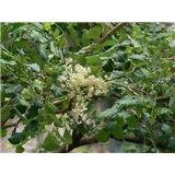 Palisandr (Dalbergia latifolia) - 7 semen