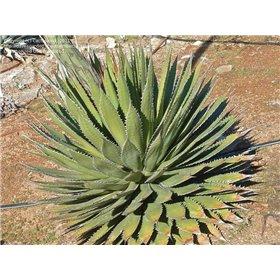 https://www.semena-rostliny.cz/25516-thickbox/agave-horida-.jpg