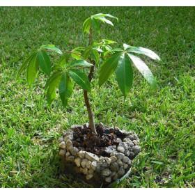 https://www.semena-rostliny.cz/25517-thickbox/ceiba-pentandra.jpg
