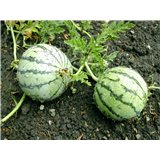 Meloun Cream Saskatchewan - bílý (Citrullus lanatus ) cca 10 semen