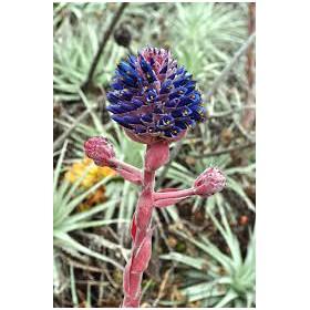 https://www.semena-rostliny.cz/28285-thickbox/puja-venusta-puya-venusta-7-semen.jpg